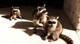 Raccoon Desktop Wallpaper