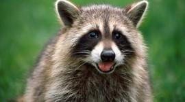 Raccoon Desktop Wallpaper For PC