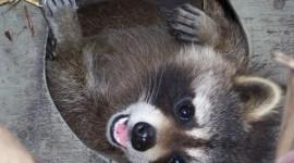 Raccoon Desktop Wallpaper HD