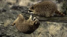 Raccoon Photo Download#1