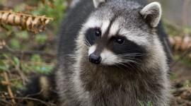 Raccoon Photo Free
