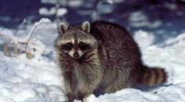 Raccoon Photo Free#1