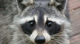 Raccoon Photo#1