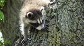 Raccoon Wallpaper 1080p