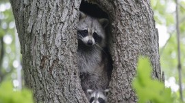 Raccoon Wallpaper