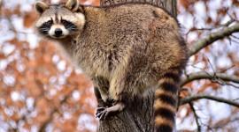 Raccoon Wallpaper Background
