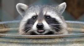 Raccoon Wallpaper Download