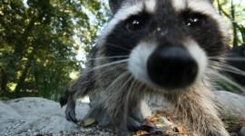 Raccoon Wallpaper For Desktop