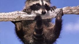Raccoon Wallpaper For IPhone