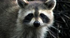 Raccoon Wallpaper Free