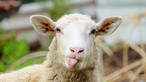 Sheep wallpapers high quality