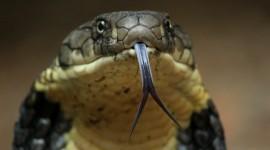 Snake Tongue Photo Download