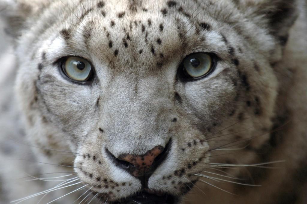Snow Leopard wallpapers HD