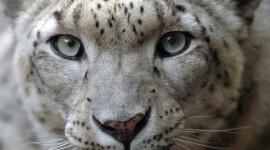 Snow Leopard Best Wallpaper