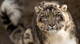 Snow Leopard Desktop Wallpaper For PC
