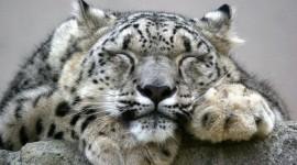 Snow Leopard Photo Download