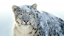 Snow Leopard Photo Free#1