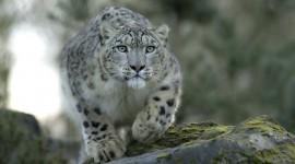 Snow Leopard Photo#1