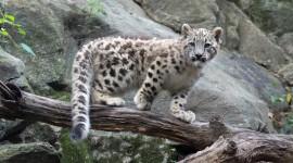 Snow Leopard Photo#2