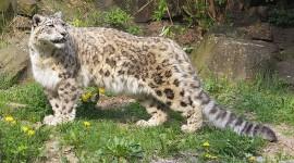 Snow Leopard Wallpaper Download