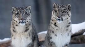 Snow Leopard Wallpaper For Desktop