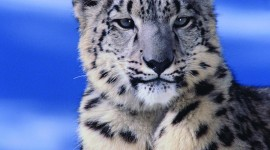 Snow Leopard Wallpaper For IPhone