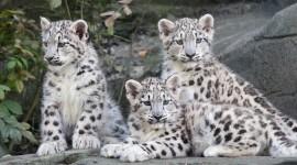 Snow Leopard Wallpaper For PC