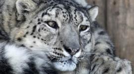 Snow Leopard Wallpaper Free
