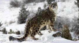Snow Leopard Wallpaper Full HD