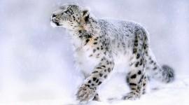 Snow Leopard Wallpaper HQ#1