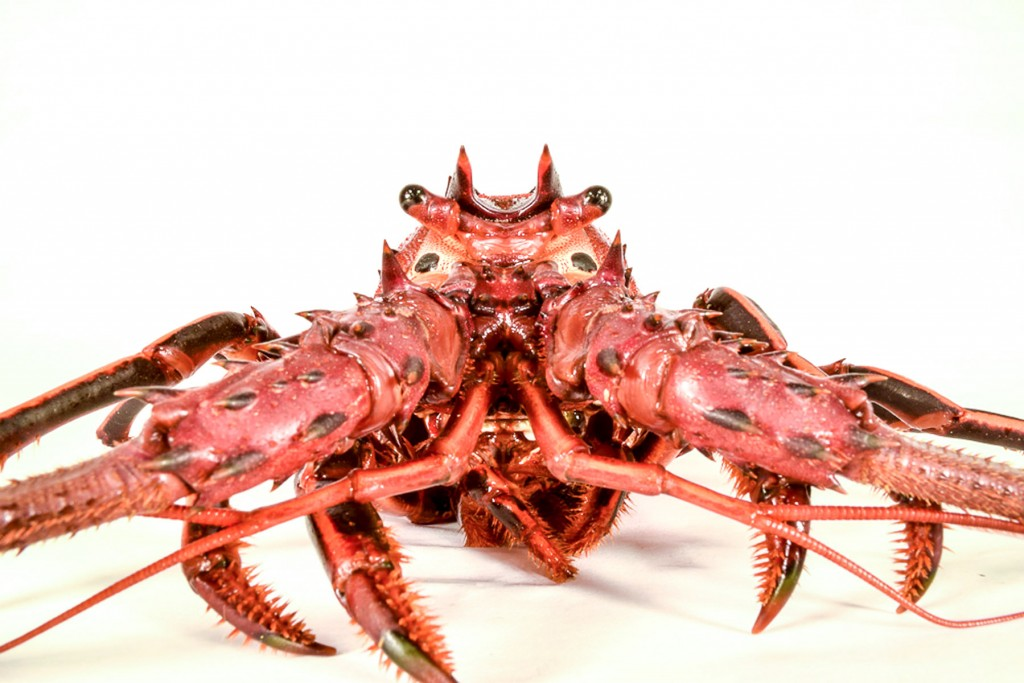 Spiny Lobster wallpapers HD
