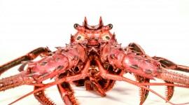 Spiny Lobster Best Wallpaper