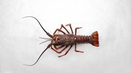 Spiny Lobster Desktop Wallpaper HD