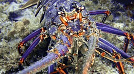Spiny Lobster Photo