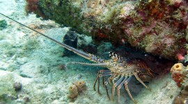 Spiny Lobster Photo Download