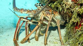 Spiny Lobster Photo Free