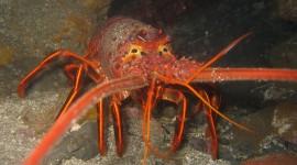 Spiny Lobster Wallpaper