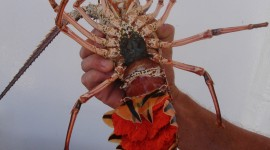 Spiny Lobster Wallpaper For IPhone