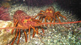 Spiny Lobster Wallpaper For PC