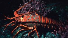 Spiny Lobster Wallpaper Free