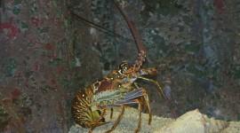 Spiny Lobster Wallpaper Full HD#2