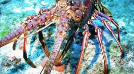 Spiny Lobster Wallpaper Gallery