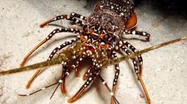 Spiny Lobster Wallpaper HQ