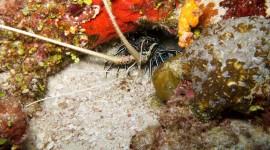 Spiny Lobster Wallpaper HQ#1