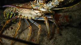 Spiny Lobster Wallpaper HQ#2