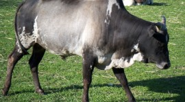 Zebu Wallpaper Download
