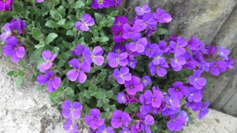 Aubrieta wallpapers high quality