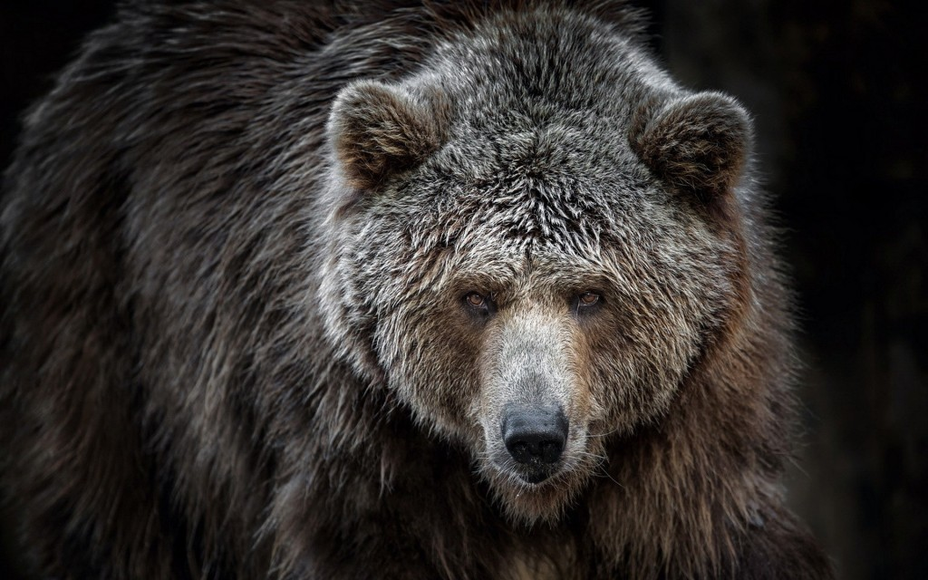 Grizzly wallpapers HD