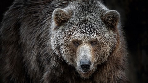 Grizzly wallpapers high quality
