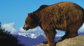 Grizzly Wallpaper Download